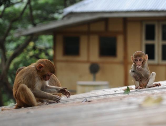 Baby Monkey on Mount Popa