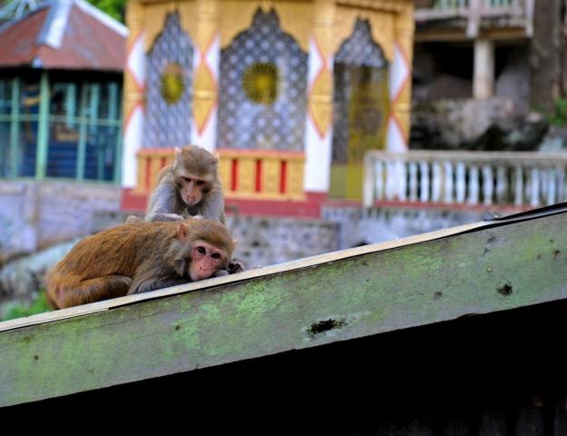 Monkeys on Mount Popa