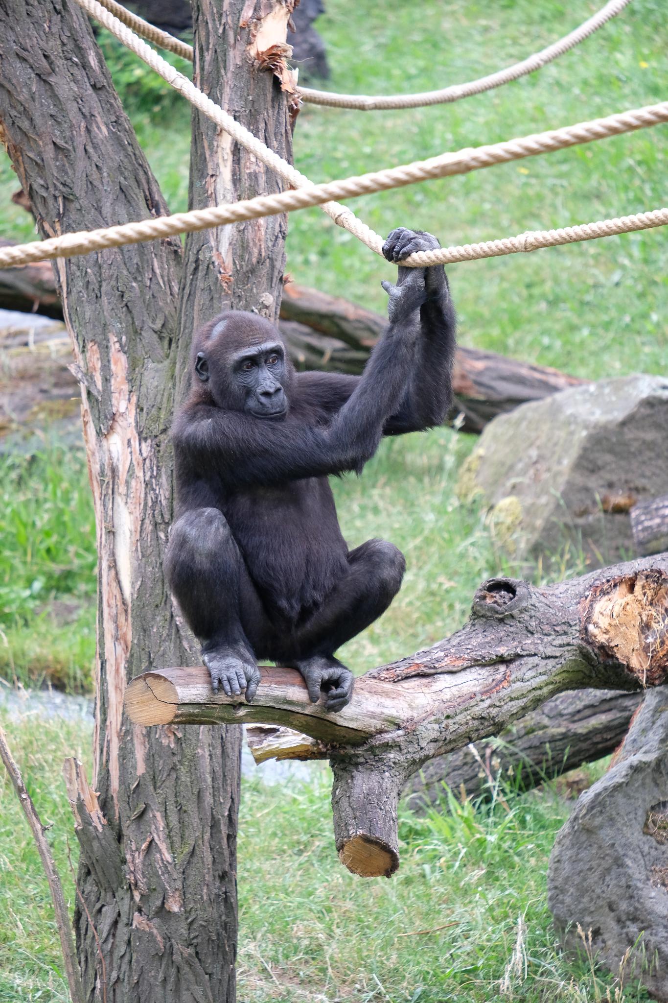 Lot of Gorillas